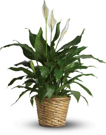 Simply Elegant Spathiphyllum - Deluxe